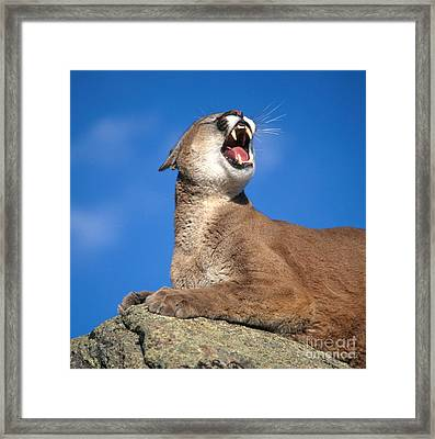 Mountain Lion Framed Print by Hans Reinhard