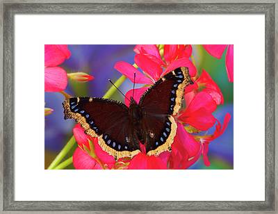 Mourning Cloak Butterfly, Nymphalis Framed Print