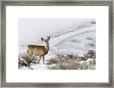 Mule Deer In Grand Teton National Park Framed Print by Tom Norring