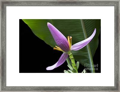 Musa Ornata - Pink Ornamental Banana Flower Hawaii Framed Print
