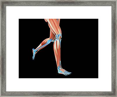 Muscular System Of Jogger Framed Print