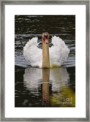 Mute Swan Framed Print