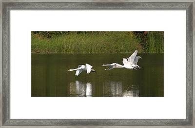 Mute Swans In Flight Framed Print by Roy Williams