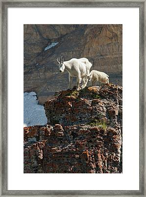 Nanny Mountain Goat And Kid, Oreamnos Framed Print