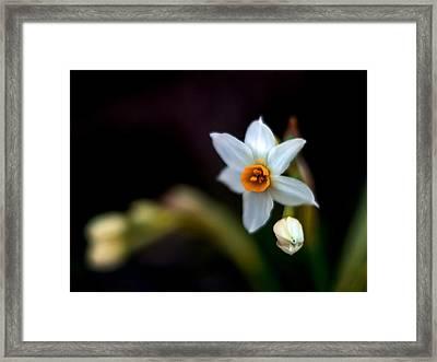 Narcissus Tazetta Framed Print