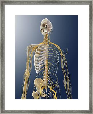 Nervous System, Artwork Framed Print by Science Photo Library