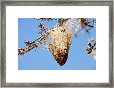Nests Of Pine Processionary Caterpillar Framed Print