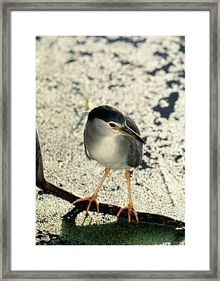 Night Heron Framed Print by Tony Camacho/science Photo Library
