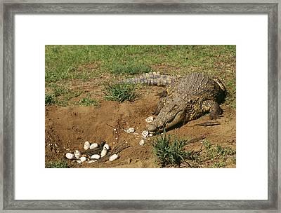 Nile Crocodile At Nest Framed Print