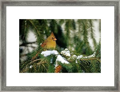 Northern Cardinal (cardinalis Cardinalis Framed Print