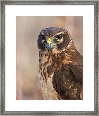 Northern Harrier Female Framed Print