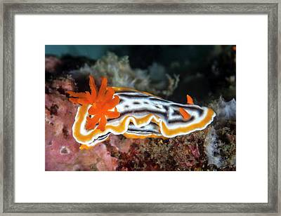 Nudibranch Framed Print