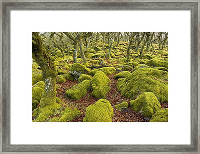 Oak Woodland On Dartmoor Framed Print