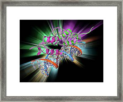 Oestrogen Receptor Bound To Dna Framed Print