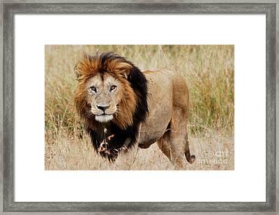 Old Lion Framed Print by Alan Clifford