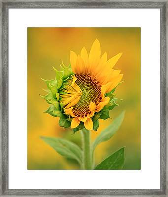 Opening Sunflower Framed Print