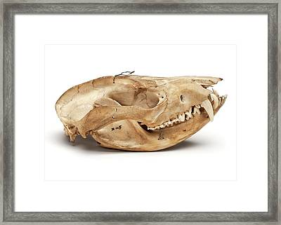 Opossum Skull Framed Print by Ucl, Grant Museum Of Zoology