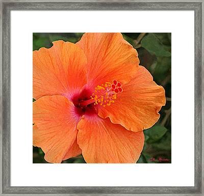 Orange Hibiscus Framed Print by Ellen Henneke