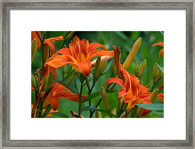 Framed Print featuring the photograph Orange Lilly by Cathy Shiflett