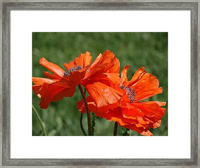 Orange Poppies Framed Print by Rebecca Overton