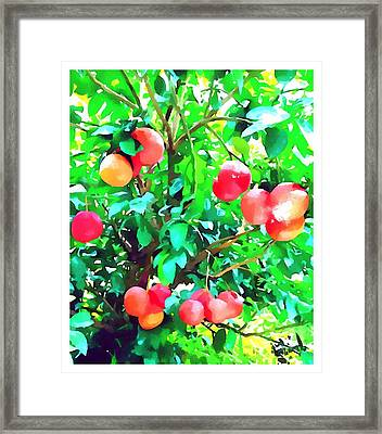 Orange Trees With Fruits On Plantation Framed Print by Lanjee Chee