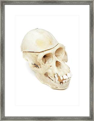 Orangutan Skull Framed Print by Ucl, Grant Museum Of Zoology