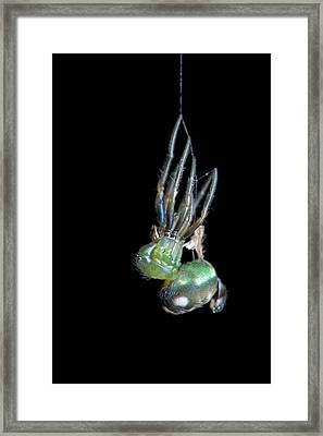 Orb-weaver Spider Moulting Framed Print by Melvyn Yeo