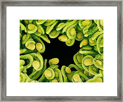Sem Of Orchid Cactus Ovules Framed Print