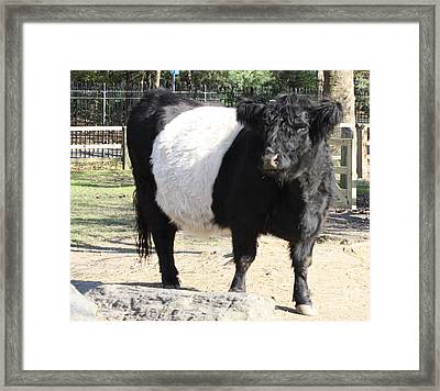 Oreo Cow Framed Print