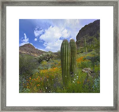 Organ Pipe Cactus National Monument In Arizona Framed Print by Tim Fitzharris