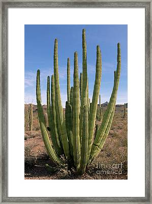 Organ Pipe Cactus Natl Monument Framed Print by Yva Momatiuk John Eastcott