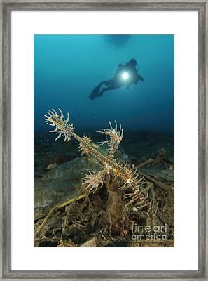 Ornate Ghost Pipefish Amongst Debris Framed Print by Steve Jones