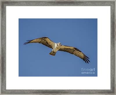 Osprey In Flight Spreading His Wings Framed Print by Dale Powell