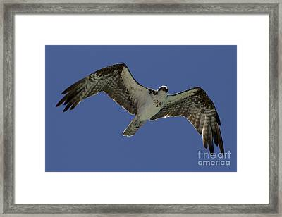 Framed Print featuring the photograph Osprey In Flight Photo by Meg Rousher
