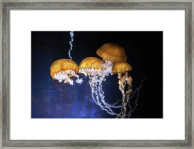 Pacific Sea Nettle Jellyfish Framed Print by Bildagentur-online/mcphoto-schulz