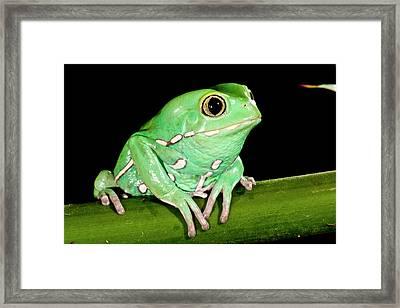 Painted Monkey Frog Phyllomedusa Framed Print by David Northcott