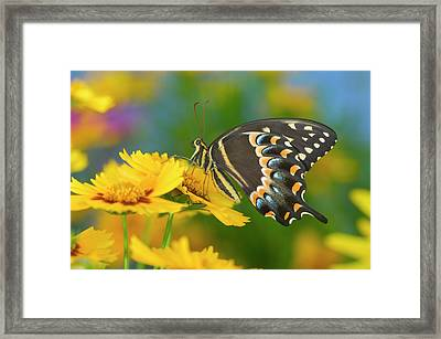 Palmedes Swallowtail, Papilio Palmedes Framed Print