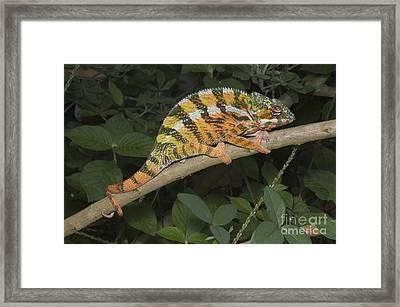 Panther Chameleon Framed Print by Greg Dimijian