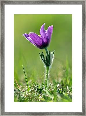 Pasque Flower (pulsatilla Vulgaris) Framed Print