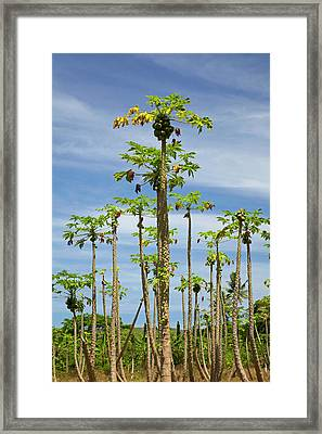 Pawpaw (papaya) Plantation, Lower Framed Print by David Wall