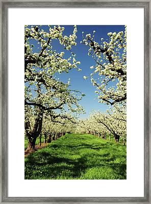 Peach Blossoms, Hood River, Oregon, Usa Framed Print