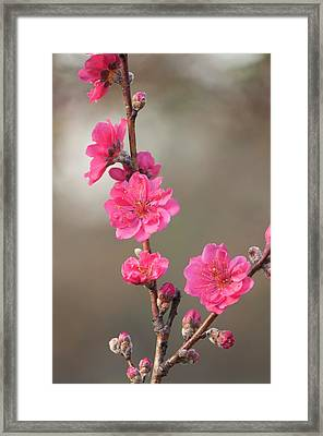 Peach (prunus Persica 'red Baron') Framed Print by Maria Mosolova