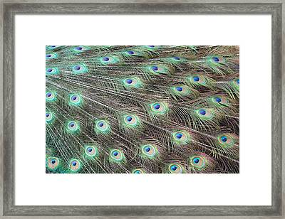 Framed Print featuring the photograph Peacock Feather Fiesta  by Diane Alexander