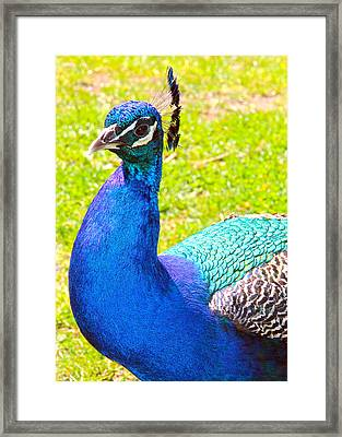 Framed Print featuring the photograph Peacock by Jim Poulos