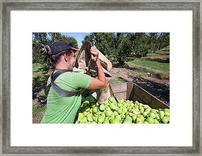 Pear Orchard Framed Print