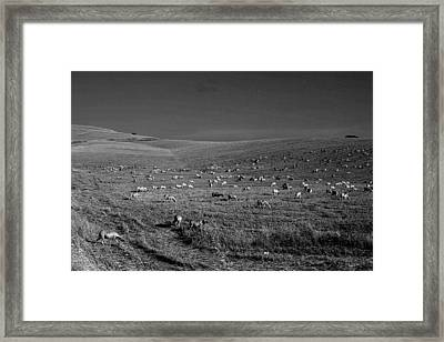 Sheep Grazing In The Countryside Tarquinian Framed Print