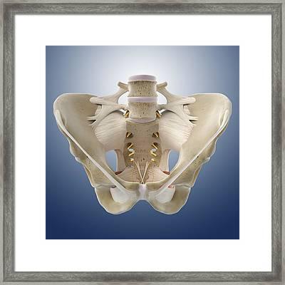Pelvis, Artwork Framed Print by Science Photo Library