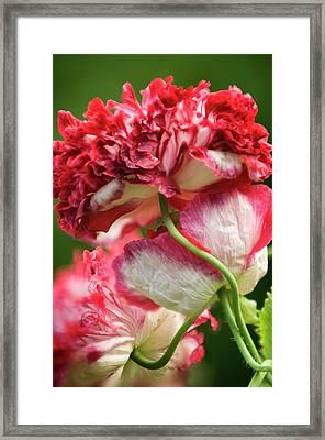 Peony Poppies Framed Print by Maria Mosolova