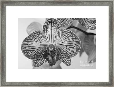 Phalaenopsis Orchid Framed Print