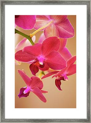 Phalaenopsis Orchid Flowers Framed Print